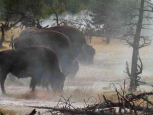 Bison in Geyser Mist Yellowstone