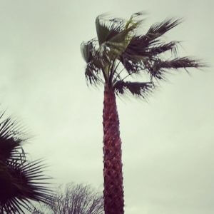 wind-blown palm