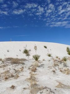 Soaptree Yucca WSNP